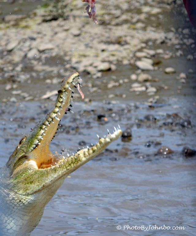 Feeding The Croc