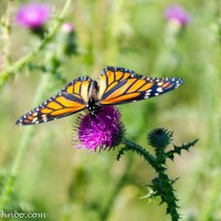 Maplewood State Park – Pretty as a Butterfly on a Thistle