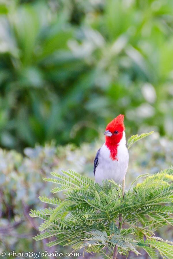 Redhead_Bird