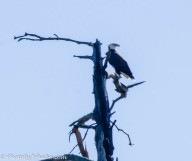 A bald eagle high on a dead tree.
