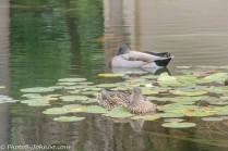 Ducks resting in the lily pond