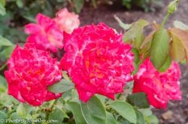A trio of roses