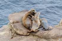 A bull sea lion and his harem.