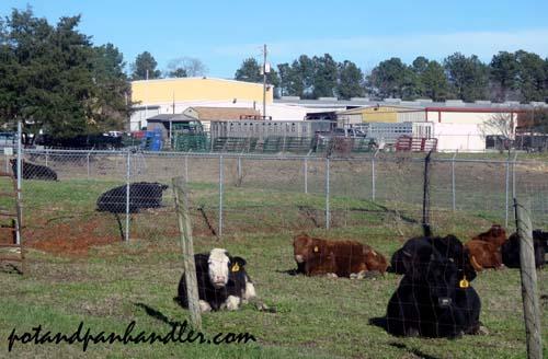 Cattle copy