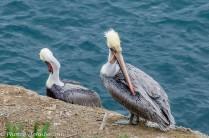 Pelicans preen in stereo.