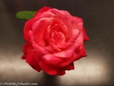 *Rose.