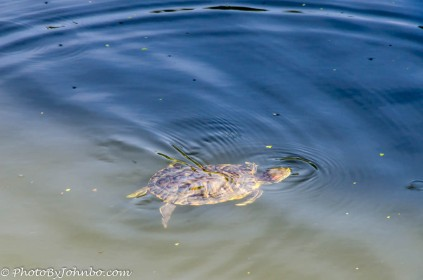 Resident of the Japanese Garden pond.