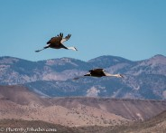 Sandhill cranes with the Magdalena mountains in the background.