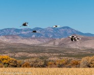 Sandhill cranes and snow geese over the Bosque.