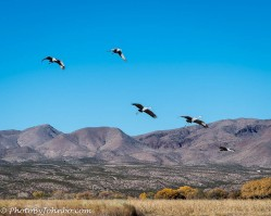 Sandhill cranes and snow geese.