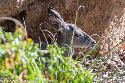 Mule Deer.