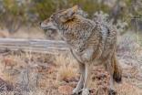 Coyote.