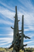 An ancient saguaro with many arms.