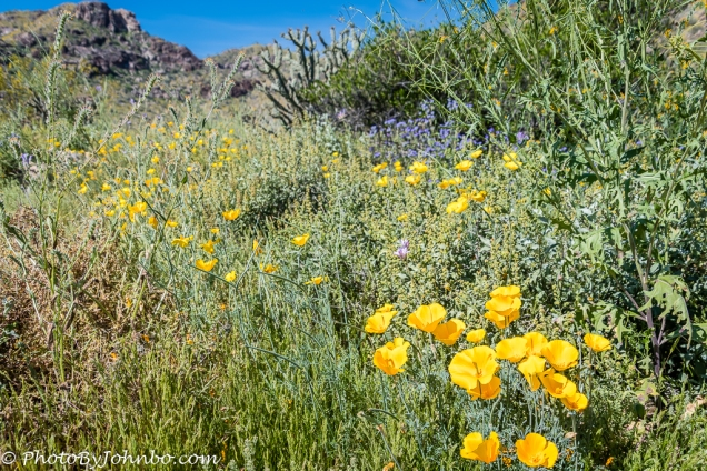 Mexican Poppies.