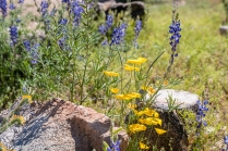 Lupine and Mexican Poppies.