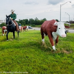 Cattle Drive-4