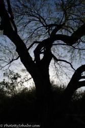 Mesquite Tree, Phoenix, AZ