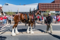 Clydesdales-10