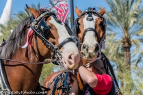 Clydesdales-13