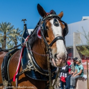 Clydesdales-16