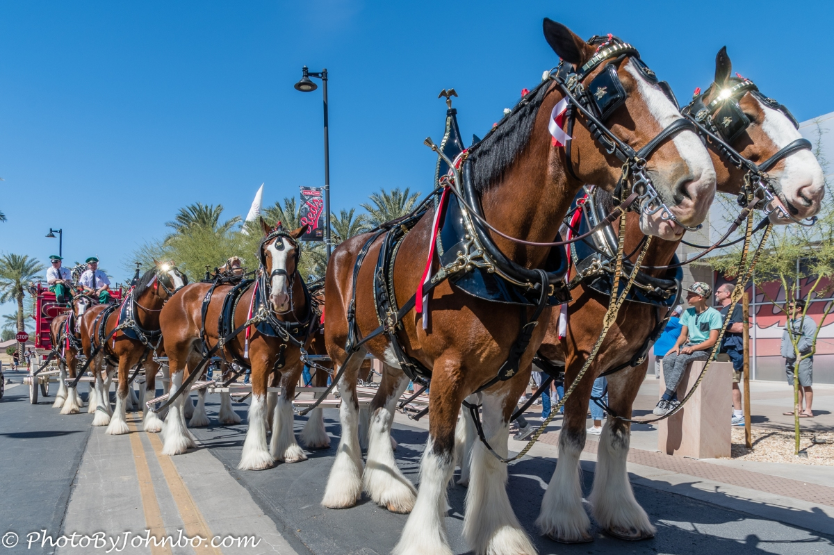 The Clydesdales - Budweiser's 85-year Tradition