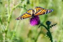 Butterfly on a thistle.