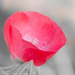 A desert poppy blossom.