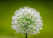 Allium blossom.