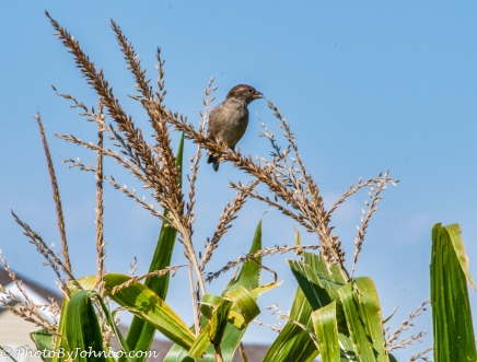 Bird on a corn stalk