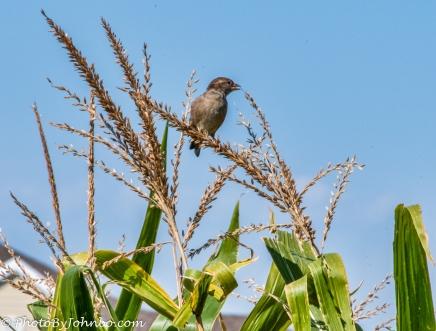 Bird on a corn stalk