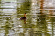 A Pied-billed Grebe enjoying the morning.