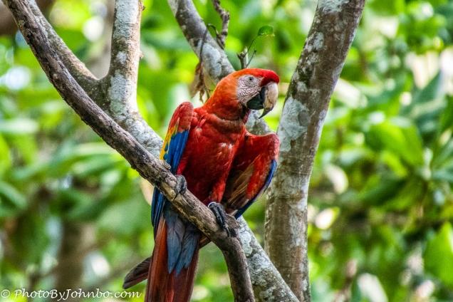 Wild scarlet macaw.