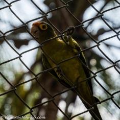Juvenile green macaw.