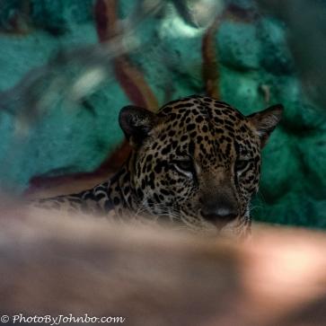 Juvenile jaguar.