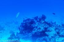 A lone barracuda