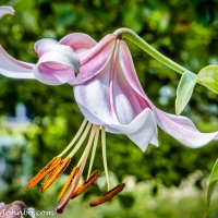 Lens-Artists Photo Challenge - Single Flower